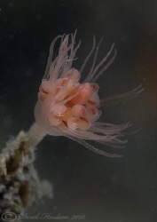 Oaten pipe hydroid. Menai straits. D200, 2xc, 60mm, wet d... by Derek Haslam 